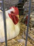 鸡白色 图库摄影