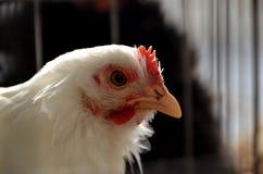鸡白色 免版税图库摄影