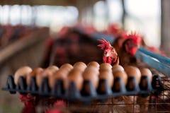 鸡看被卖的它的鸡蛋 免版税库存照片