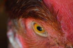鸡眼睛 库存照片