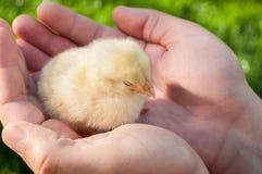 鸡睡觉 免版税库存照片
