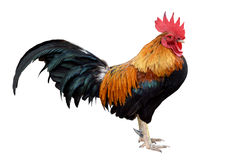 鸡矮脚鸡,在白色隔绝的雄鸡(冲切) 免版税库存照片