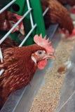 鸡红色 库存照片