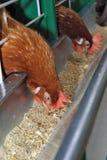 鸡红色 库存图片