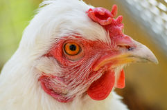 鸡纵向白色 免版税图库摄影