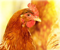 鸡纵向 免版税库存照片