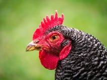 鸡纵向 免版税库存图片