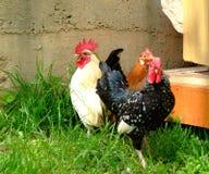 鸡结构树 库存图片