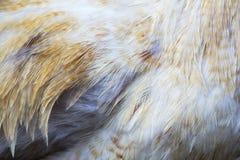 鸡羽毛 免版税库存照片