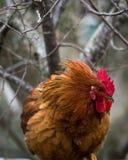 鸡羽毛 免版税图库摄影