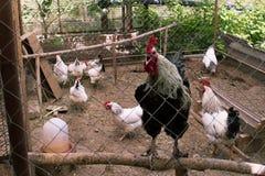 鸡舍在后院在住宅区 在前景的黑大公鸡 在背景中,几只白色产蛋鸡母鸡 库存图片