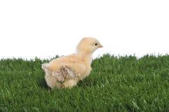 鸡草走的年轻人 图库摄影