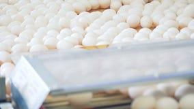 鸡蛋从传动机搬入他们工厂劳工去除的盘子 影视素材