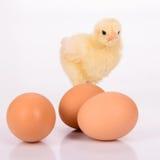 鸡蛋和鸡 免版税库存照片