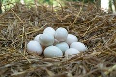鸡蛋在秸杆,白色鸭子鸡蛋投入了 免版税库存图片