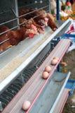 鸡蛋的鸡农事 免版税库存图片