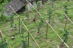 鸡走动在龙胜米大阳台,桂林 免版税库存图片