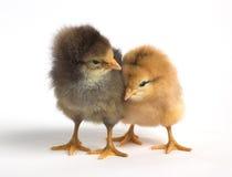 鸡逗人喜爱二 库存照片
