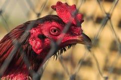 鸡顶头特写镜头 图库摄影