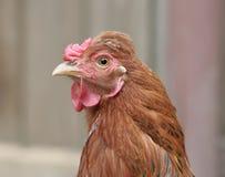 鸡题头 免版税库存照片