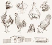 鸡饲养 免版税库存照片