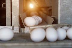 鸡鸡蛋的生产,禽畜,鸡鸡蛋审阅进一步排序的传动机,特写镜头,运输者,太阳 免版税库存照片