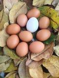 鸡鸭子鸡蛋 免版税库存照片