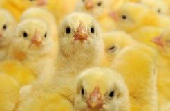 鸡黄色 免版税库存照片