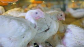 鸡,在禽畜的母鸡 影视素材