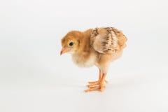 鸡,罗德岛红鸡小鸡 图库摄影