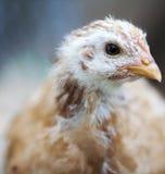 鸡年轻人 免版税图库摄影