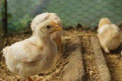 年轻鸡婴孩小鸡 免版税库存照片