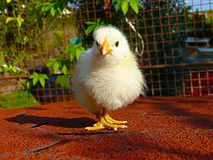 鸡-白色黄色小鸡背带国内背带背带f domestica 库存图片