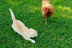 鸡攻击的猫 免版税库存图片