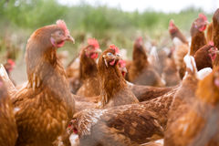 鸡画象在一个典型的自由放养的禽畜有机农场 免版税库存图片