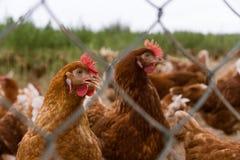鸡画象在一个典型的自由放养的禽畜有机农场 库存图片