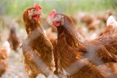鸡画象在一个典型的自由放养的禽畜有机农场 库存照片