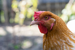 鸡画象 免版税图库摄影