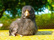 鸡-黑小鸡背带国内背带背带f domestica 免版税库存照片