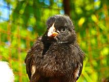 鸡-黑小鸡背带国内背带背带f domestica 库存照片