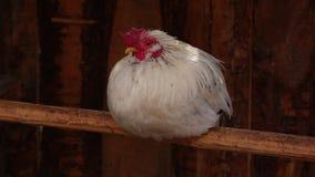 鸡 股票录像