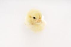 鸡 图库摄影