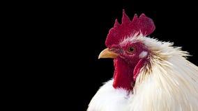 鸡 库存照片