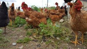 组鸡 免版税库存照片
