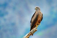 黑鸢, Milvus migrans,棕色鸷坐的落叶松属树分支,动物在栖所 从自然的野生生物场面 免版税库存图片
