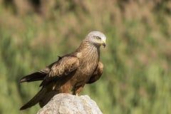 黑鸢, Milvus migrans,画象 免版税库存照片