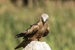 黑鸢, Milvus migrans,画象 免版税库存图片
