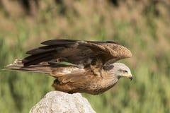 黑鸢, Milvus migrans,画象 免版税图库摄影