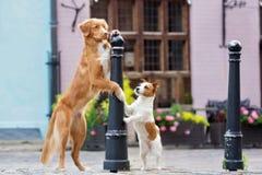 鸣钟人和起重器罗素狗在城市尾随摆在 免版税库存图片