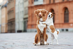 鸣钟人和起重器罗素狗在城市尾随摆在 库存照片